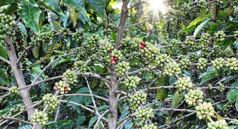 Do Coffee Beans Grow on Trees Guide