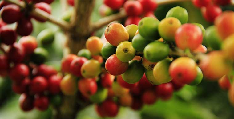 How do Coffee Beans Grow in South America