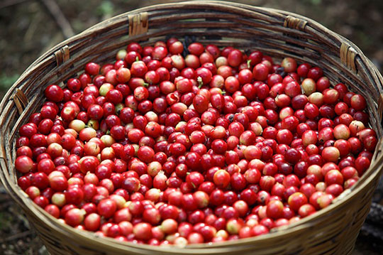 Different Types of Sumatra Blend Coffee Beans